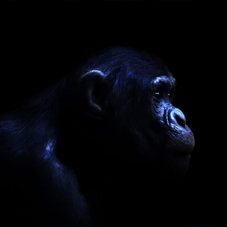 Schimpanse_im_Dunklen
